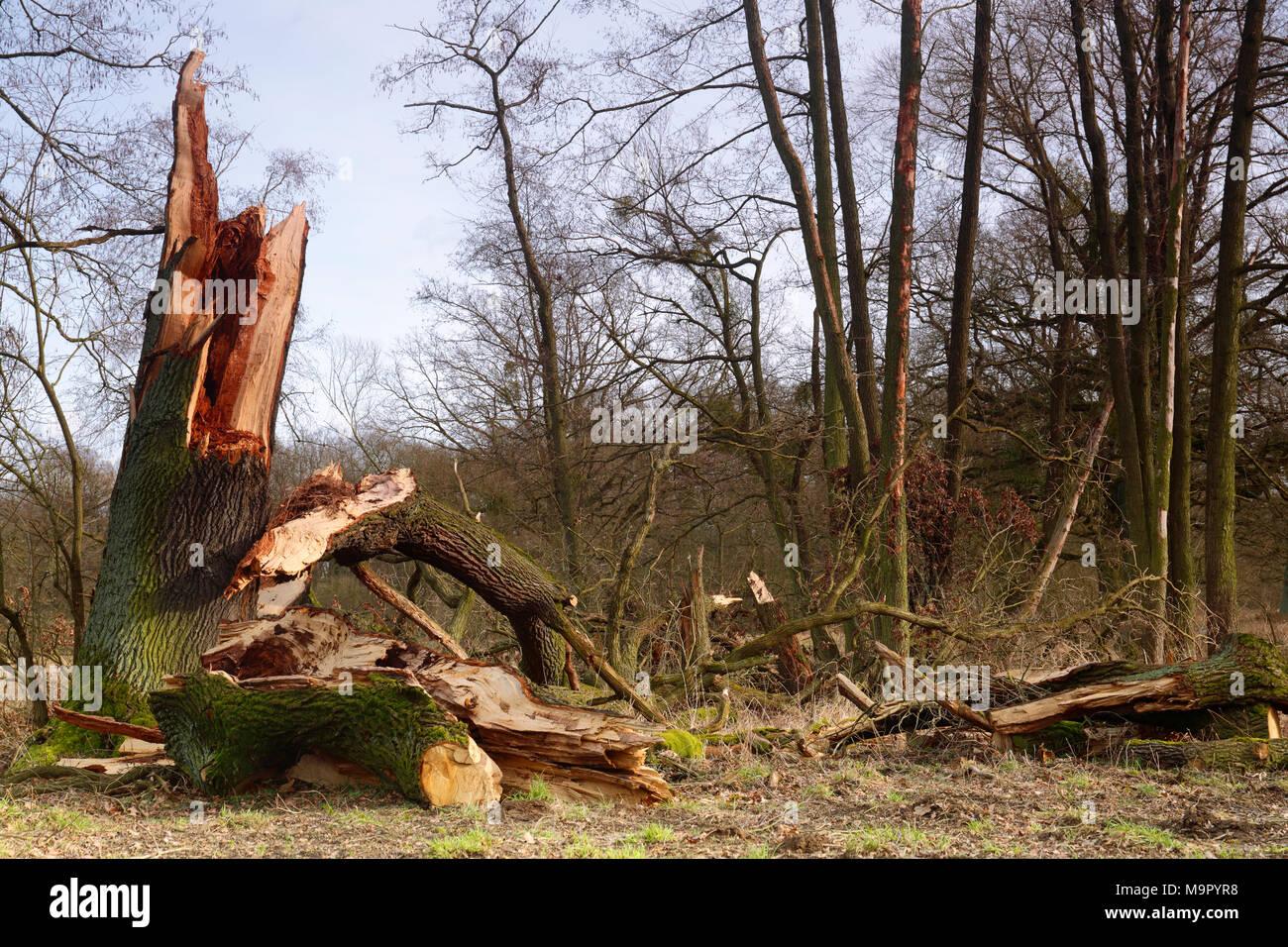 Windthrow of an oak, Biosphere Reserve Middle Elbe, Dessau-Roßlau, Saxony-Anhalt, Germany - Stock Image