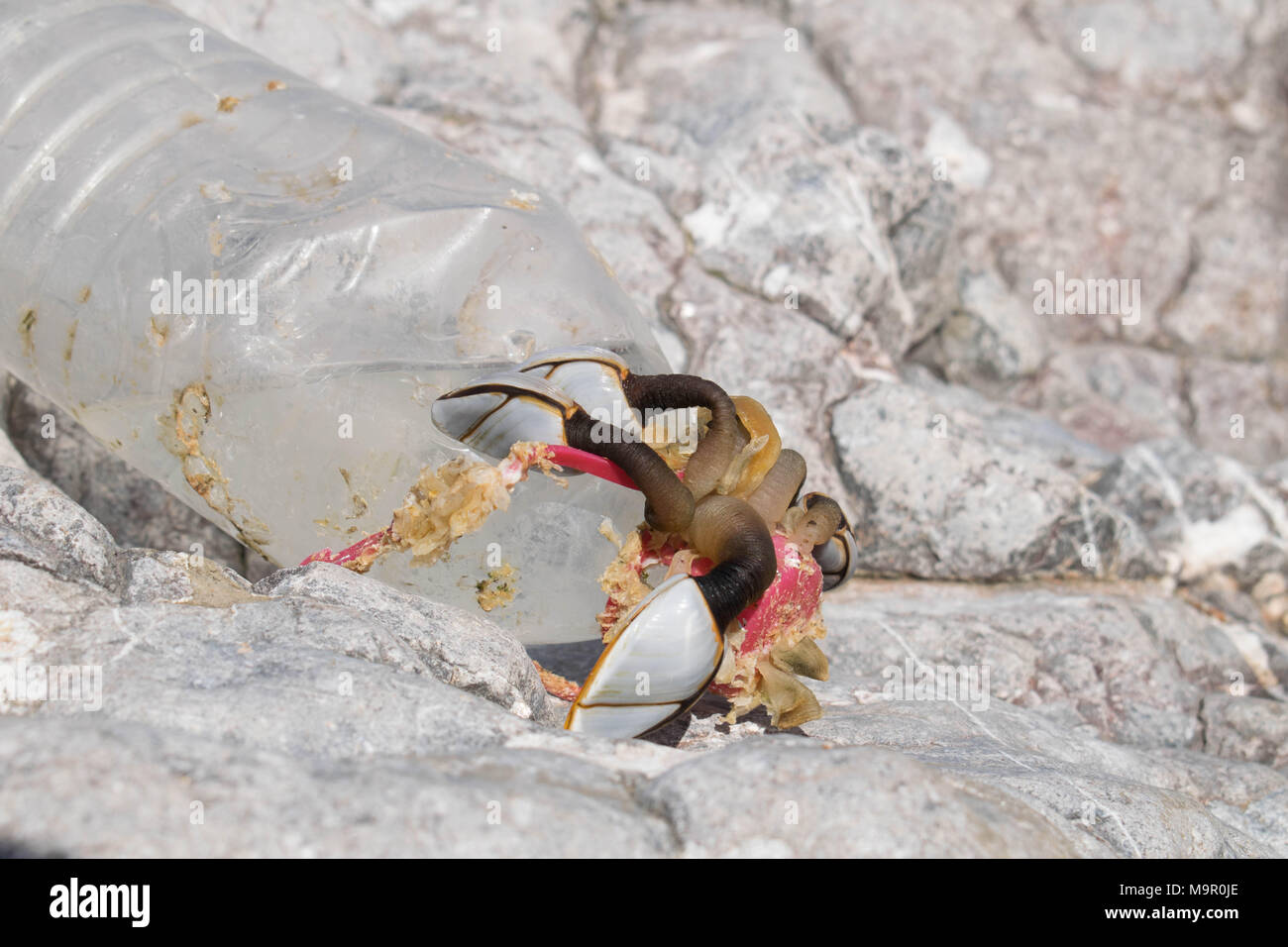 Barnacles attached to a plastic bottle washed up on rocks at the Worms Head, The Gower, Wales - Stock Image