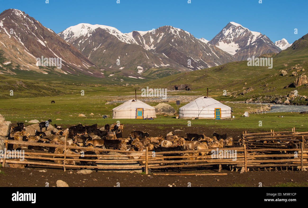 Flock of goats (capra) and yurts of nomads with mountains in the back, Mongolia - Stock Image