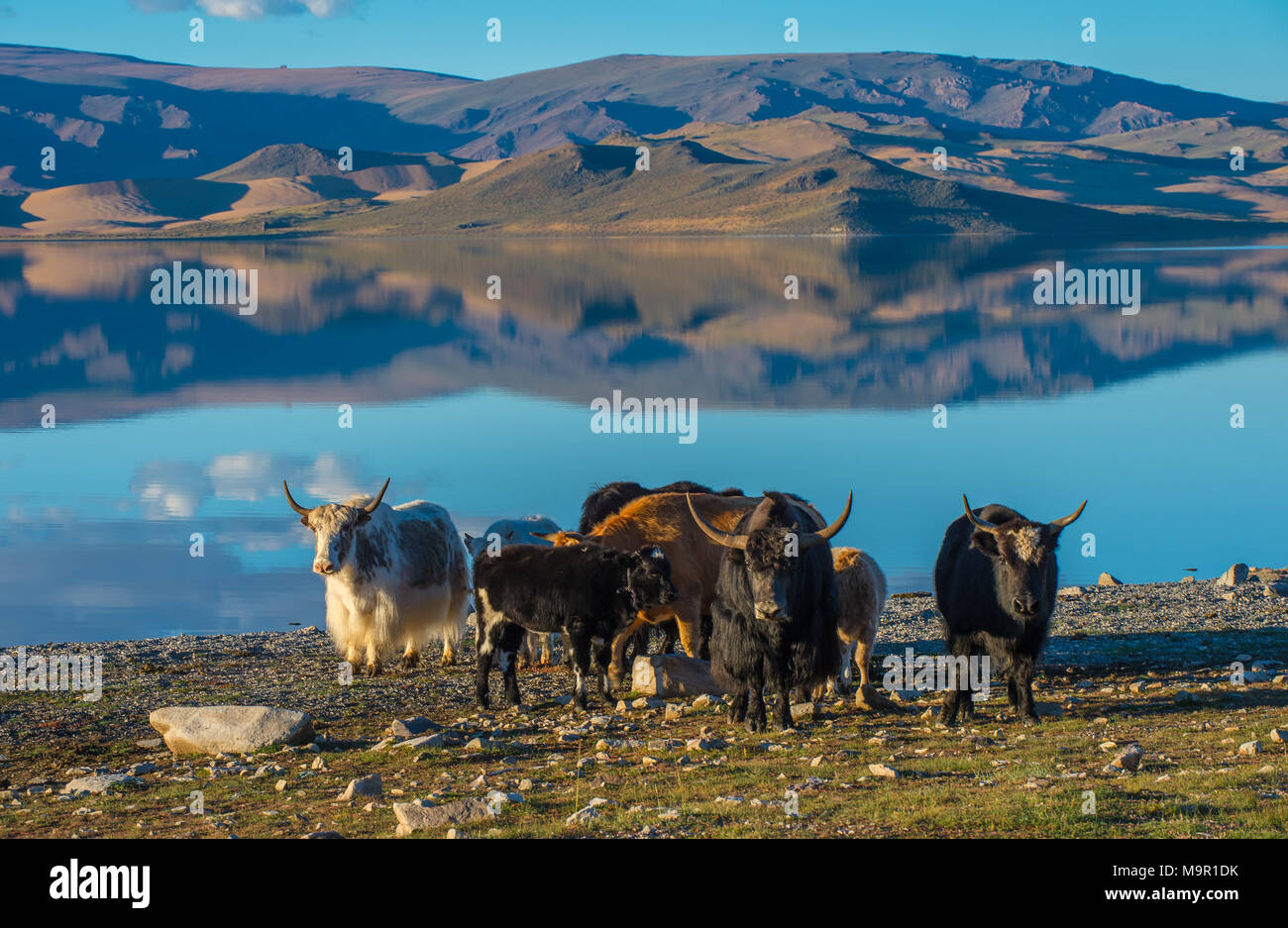 Flock of yaks (Bos grunniens) on the banks of Black lake, Mongolia Stock Photo