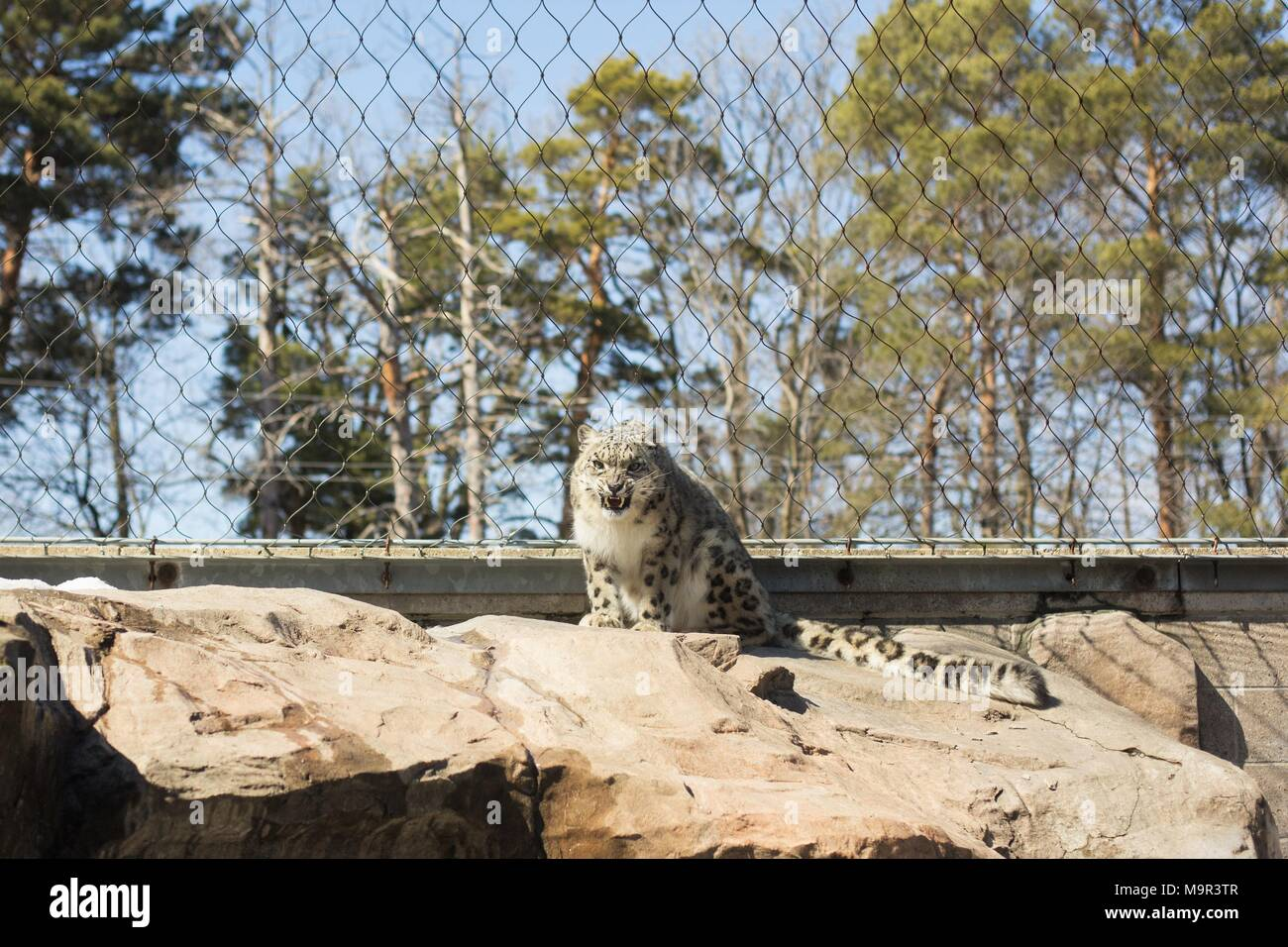A snarling snow leopard in captivity. - Stock Image