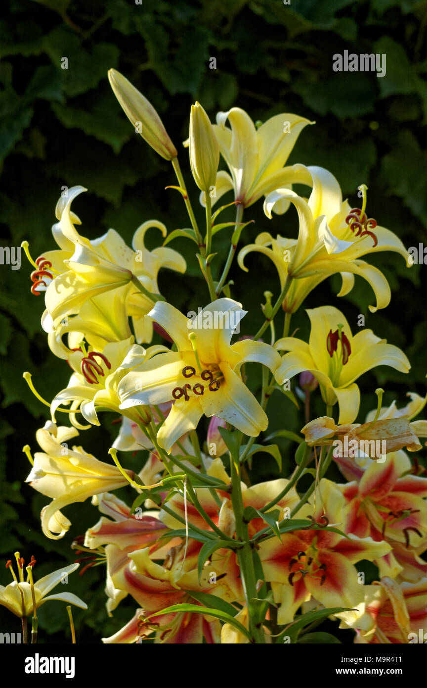 lily (latin lílium) - genus of plants in the family liliaceae