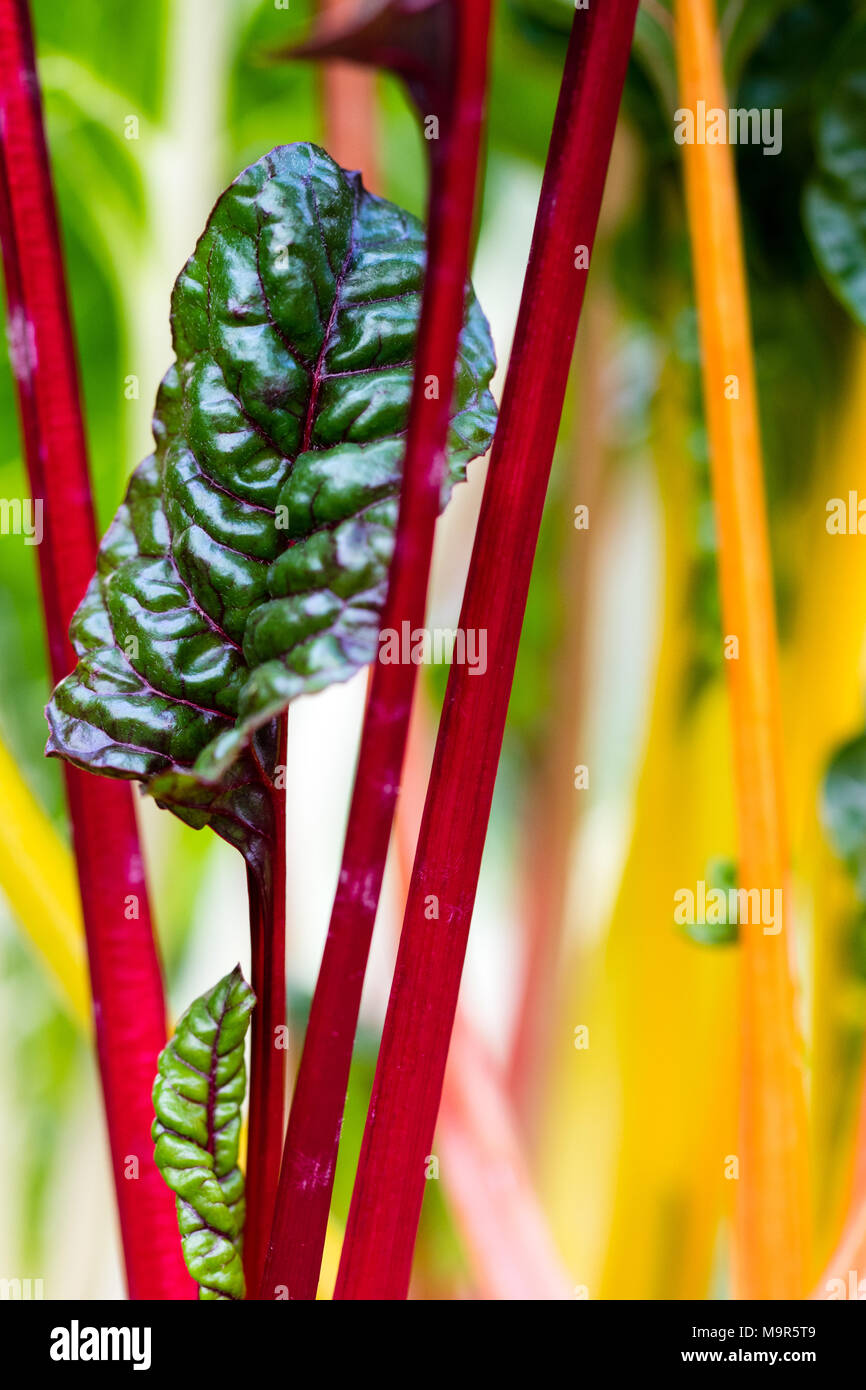 Tender Rainbow Chard leaves close up. - Stock Image