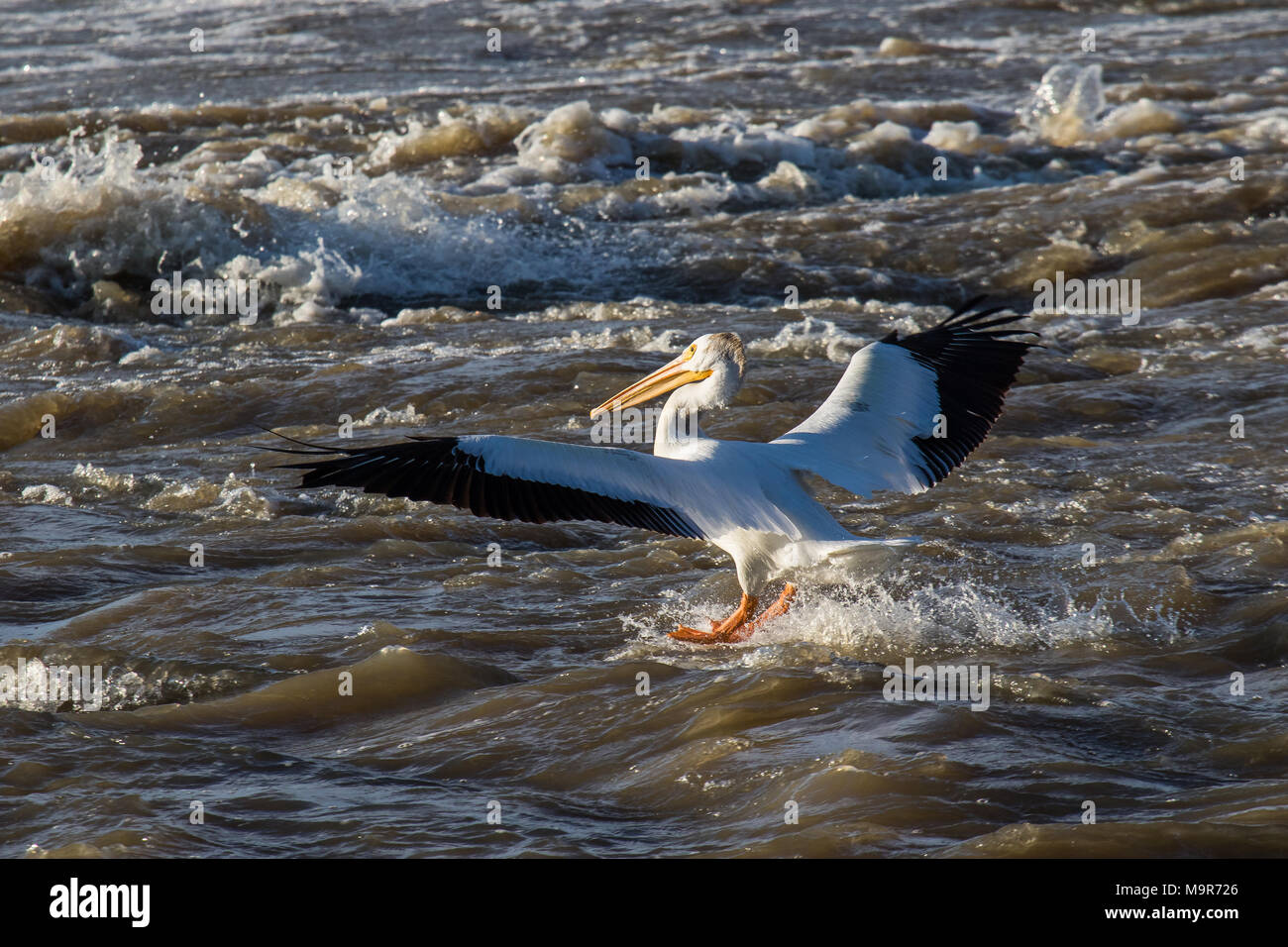 Great White Pelicans (Pelecanus onocrotalus) flying over to Canadian north for mating at Slave River, Pelican Rapids, Ft. Smith, Northwest Territories - Stock Image