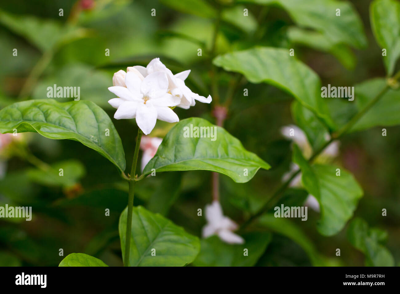 Coral jasmine stock photos coral jasmine stock images alamy jasmine isolate on background in spring summerfront view from the top technical cost izmirmasajfo