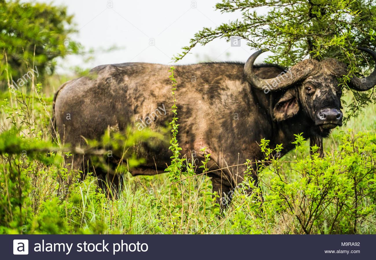 Solitary African buffalo in Nairobi national park - Stock Image
