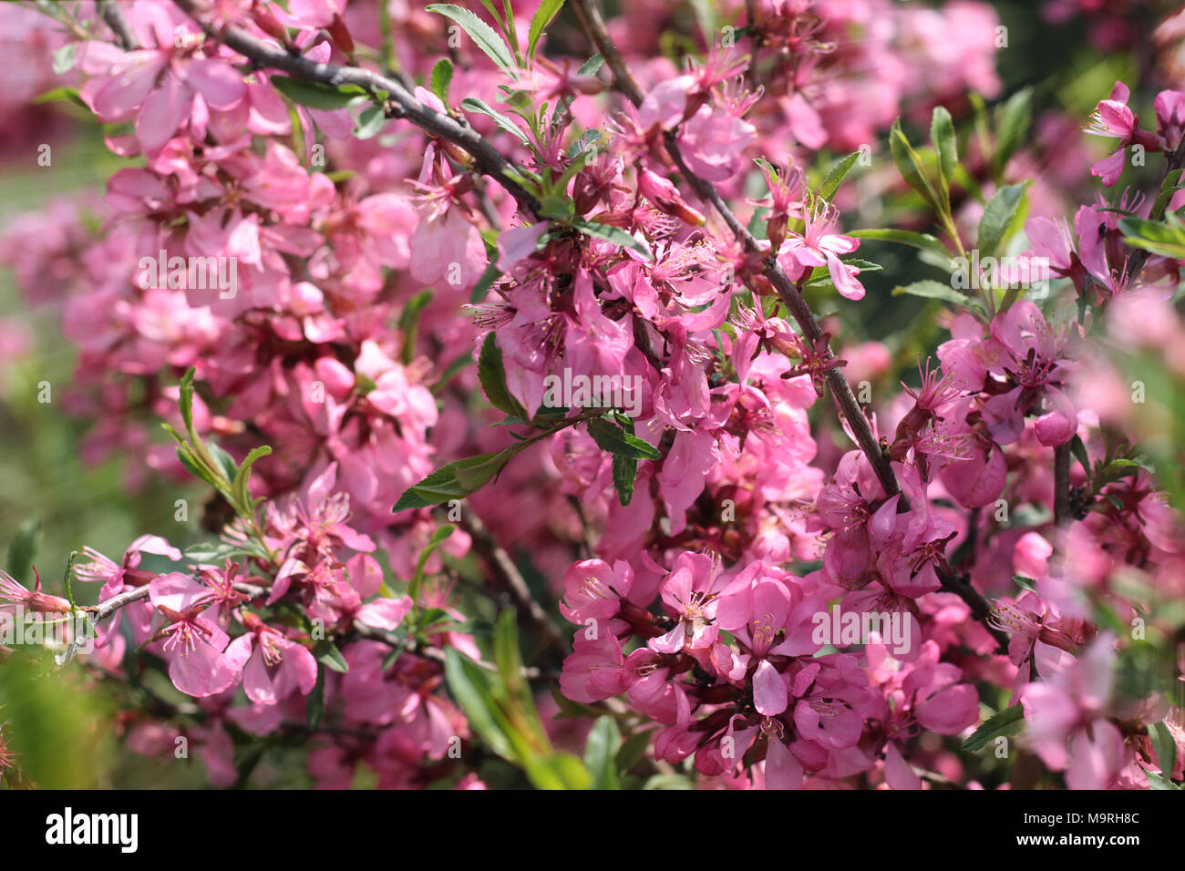 Small Pink Flowers Bush Sunlight Stock Photo 178154044 Alamy
