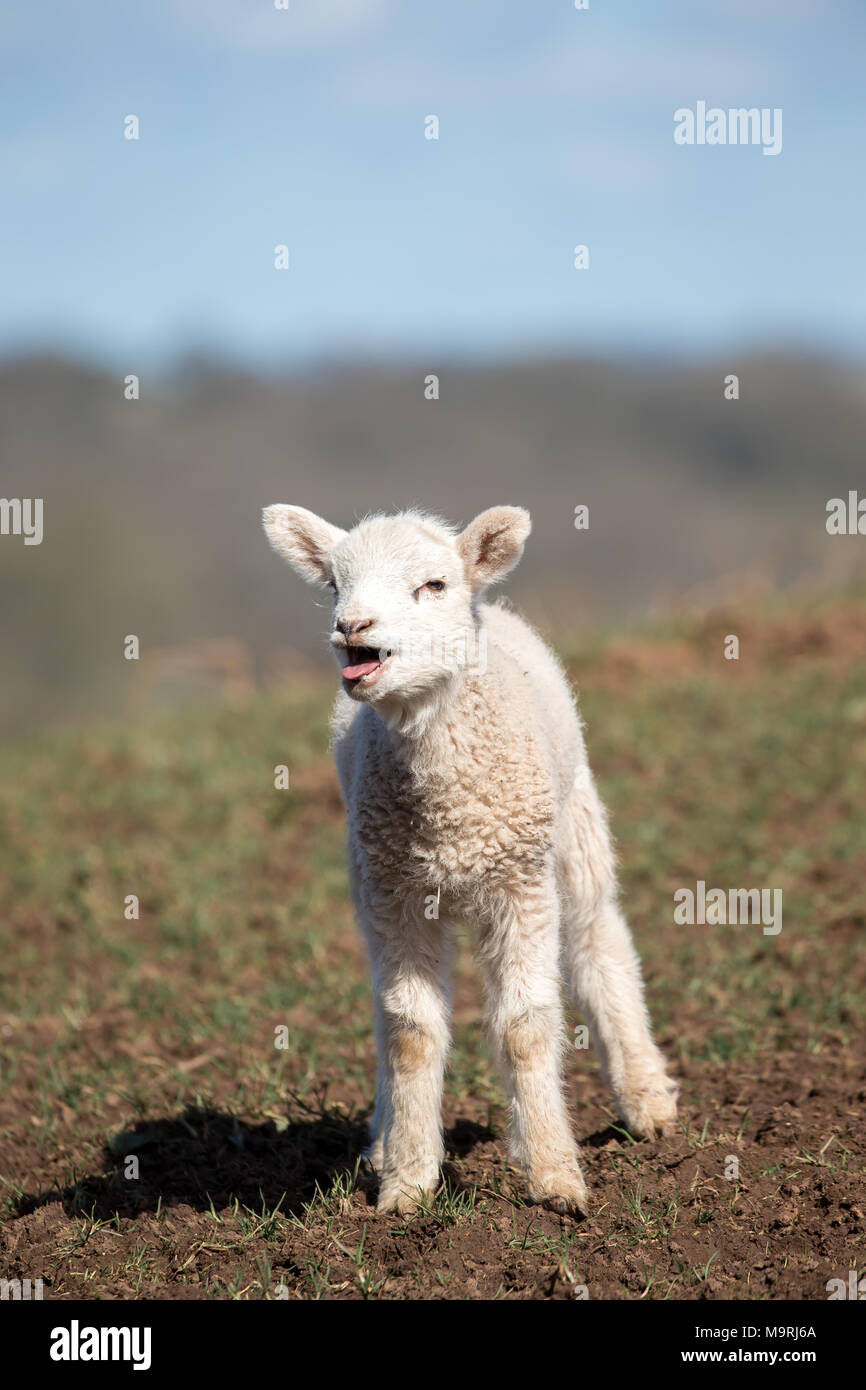 Detailed portrait close up of cute, solitary, newborn lamb stood on grassy hillside mouth open, tongue sticking out, bleating for mum. UK agriculture. - Stock Image