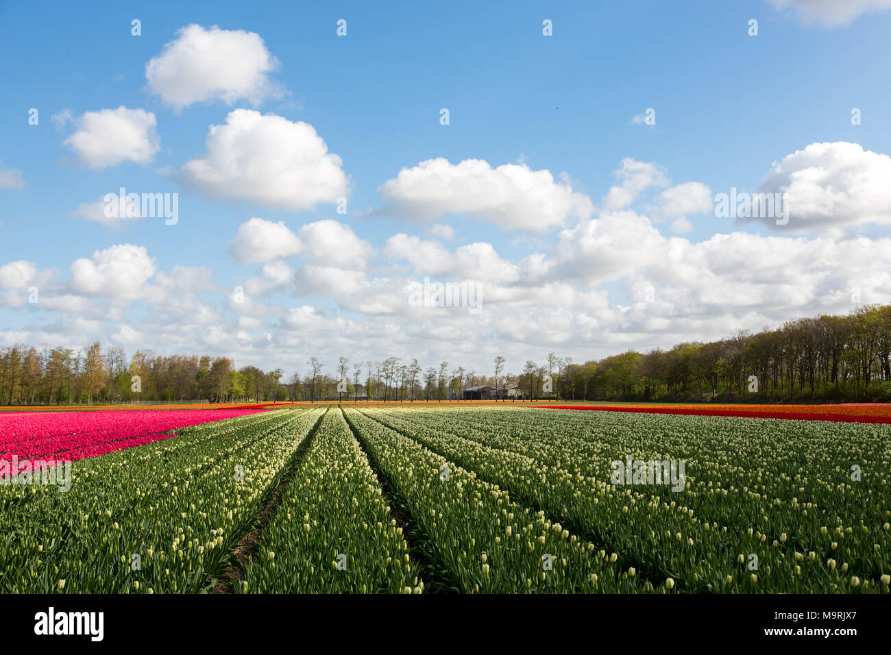 A colourful tulip field in a blue and cloudy sky near the village Lisse in the Netherlands. Stock Photo