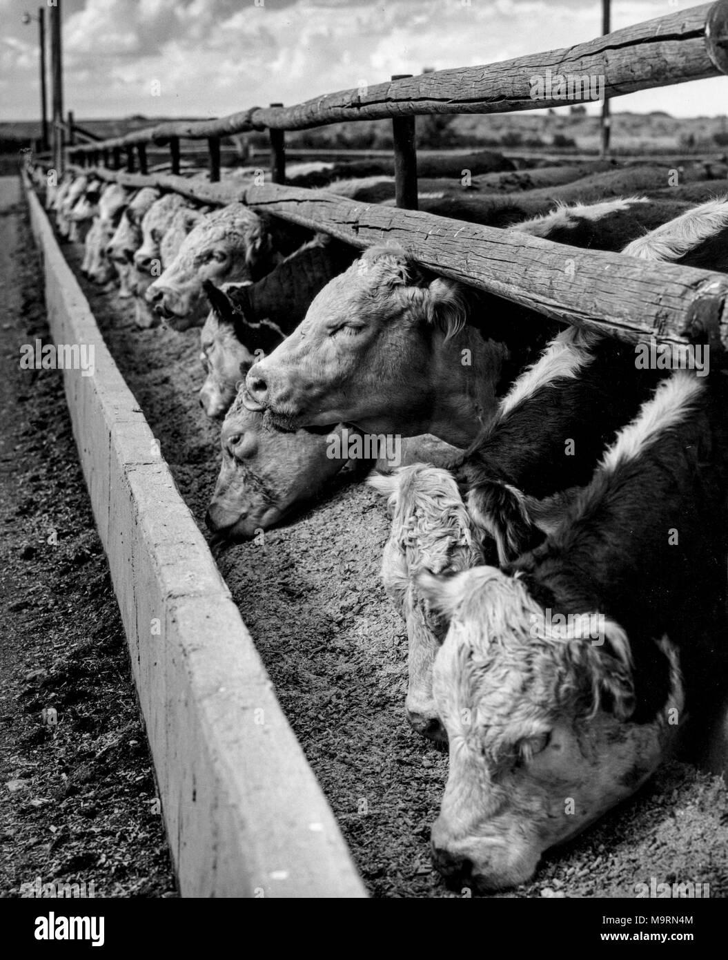 hereford cattle breeding, 70s - Stock Image