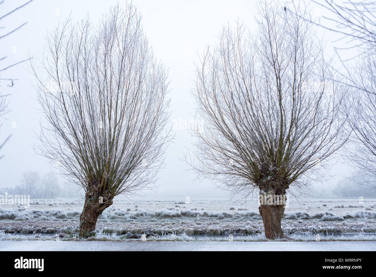 Pollard willows on a ditch for a frozen meadow in the Amsterdamse Bos the Netherlands. - Stock Image