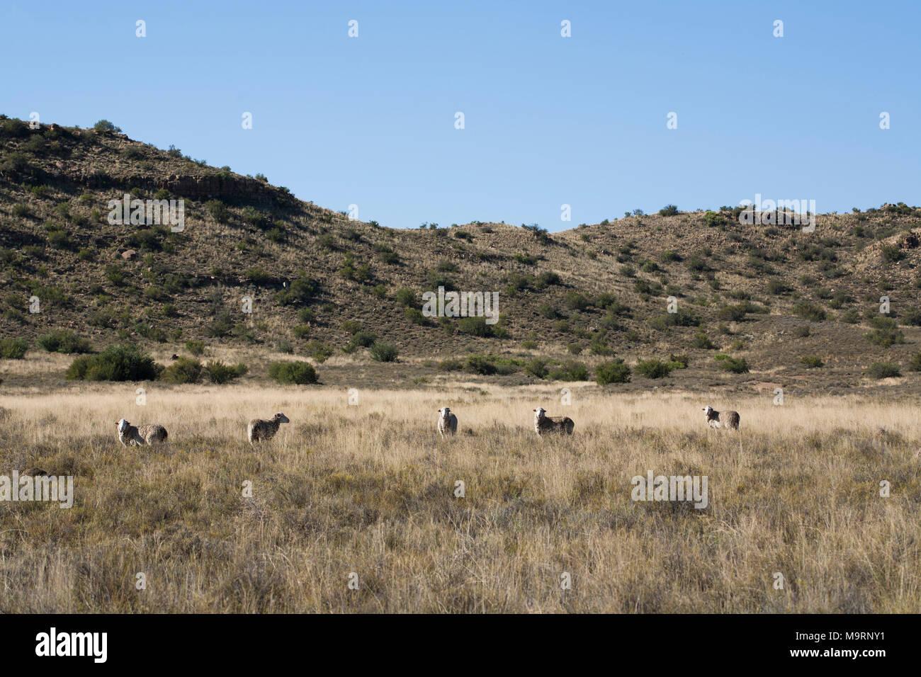 Merino sheep in the grassy veld on a sheep farm in the Karoo. - Stock Image