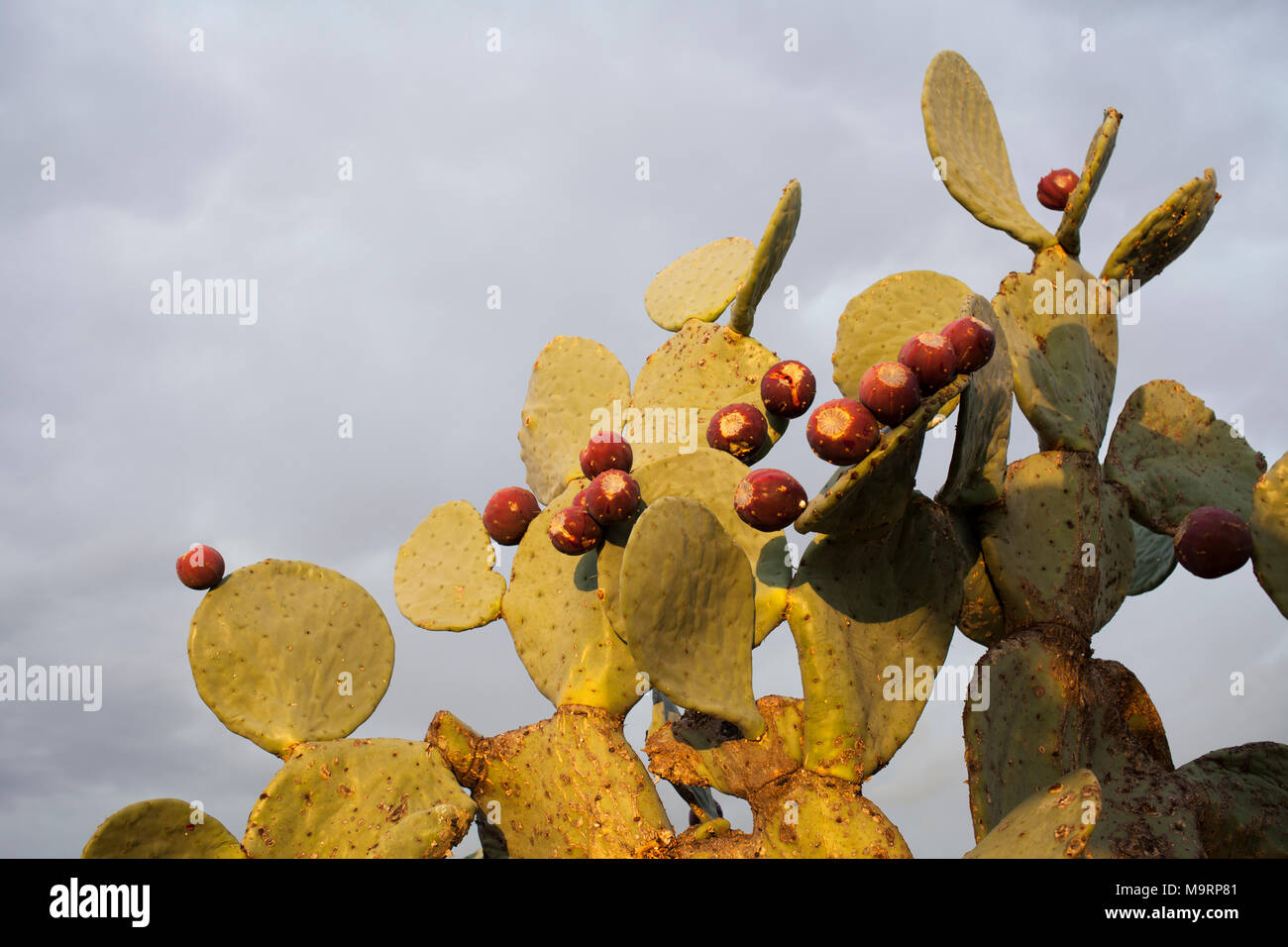 The modified stems or cladodes of the prickly pear plant (Opuntia sp.) with several ripe berries. - Stock Image