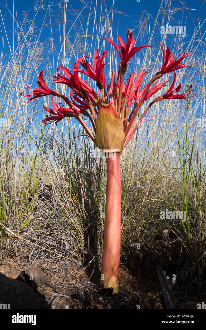 The red flower of an Ammocharis coranica, Karoo Lily or Gifbol. - Stock Image