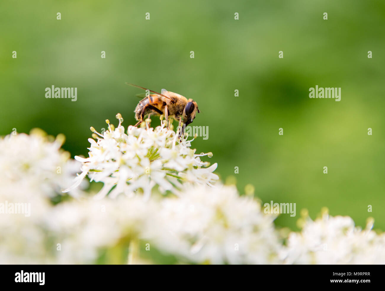 Honey bee on a white and yellow flower with a out of focus green nature background. - Stock Image