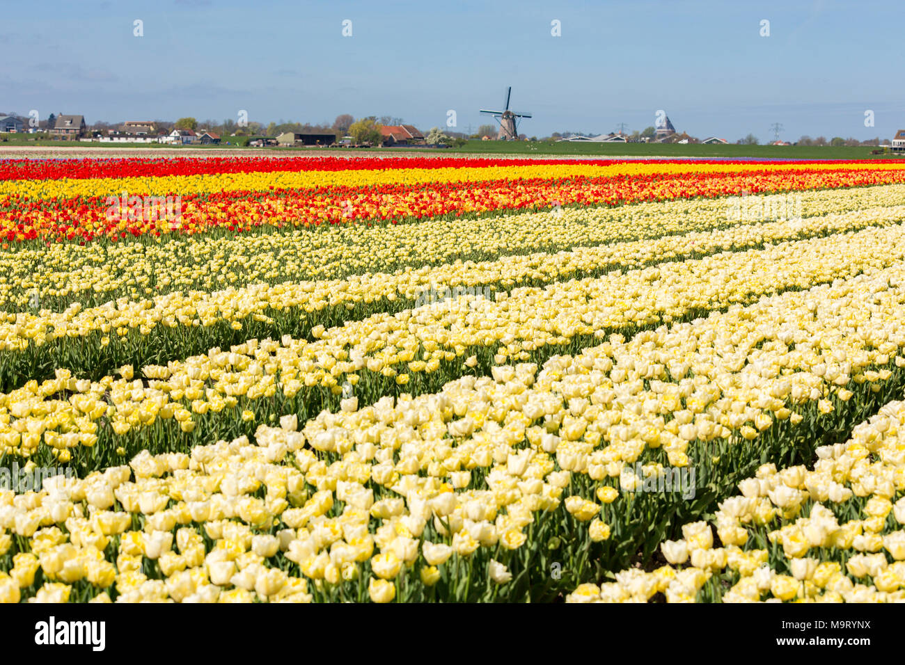 Fields with white, red and yellow tulips in the Netherlands. And the Lisserpoelmolen from 1676 Stock Photo