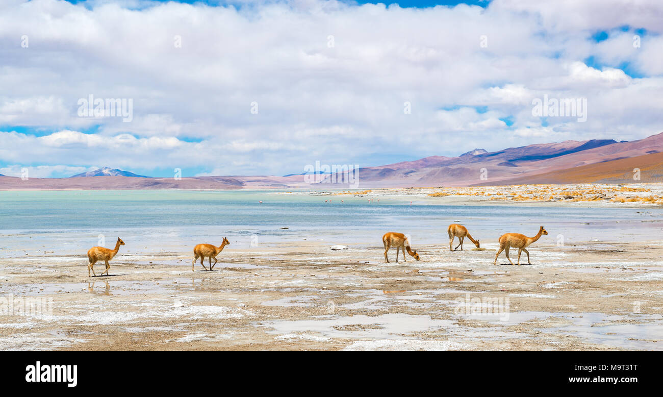 A herd of vicuna's (vicugna vicugna) near the salt flat and lagoon of Chalvari nearby the Laguna Colorada, Salar de Uyuni, Bolivia, South America. - Stock Image