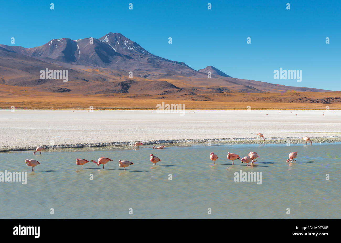 The Canapa Lagoon with many James' and Chilean flamingos feeding on algae and microscopic shrimps with their beak that functions as a filter, Bolivia. - Stock Image