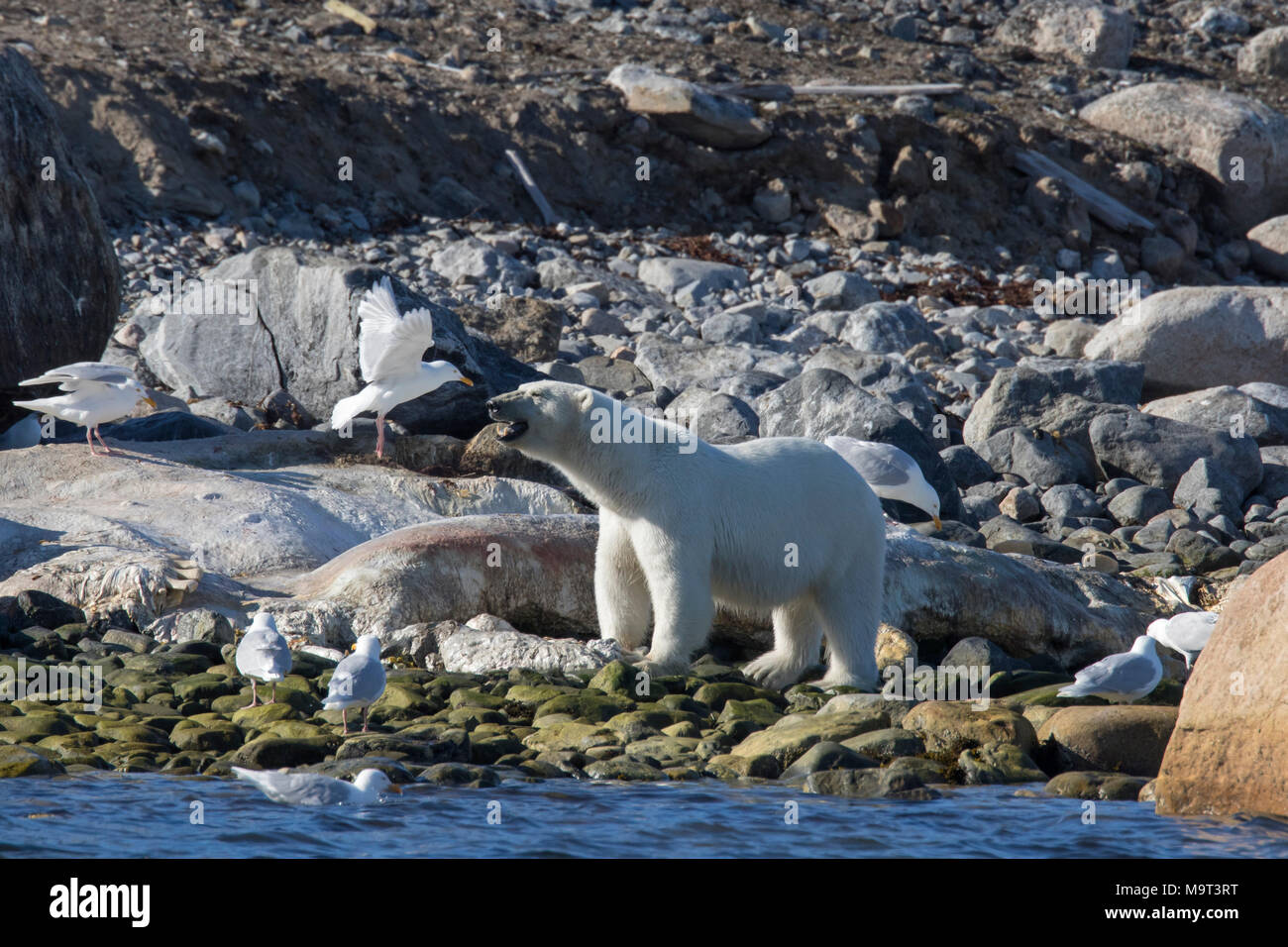 Scavenging Polar bear (Ursus maritimus / Thalarctos maritimus) feeding on carcass of stranded dead whale along the Svalbard coast, Spitsbergen, Norway - Stock Image