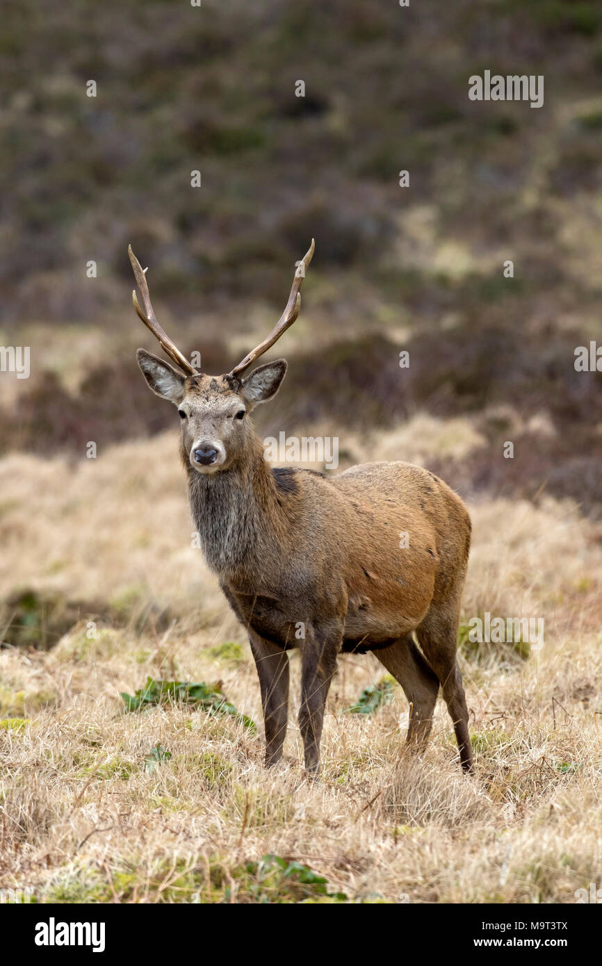 Red deer stag / male (Cervus elaphus) on moorland in the hills in winter in the Scottish Highlands, Scotland, UK - Stock Image