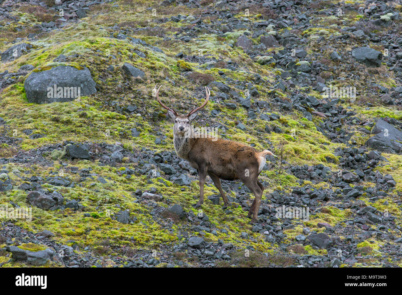 Red deer stag / male (Cervus elaphus) on mountain slope in the hills in winter in the Scottish Highlands, Scotland, UK Stock Photo