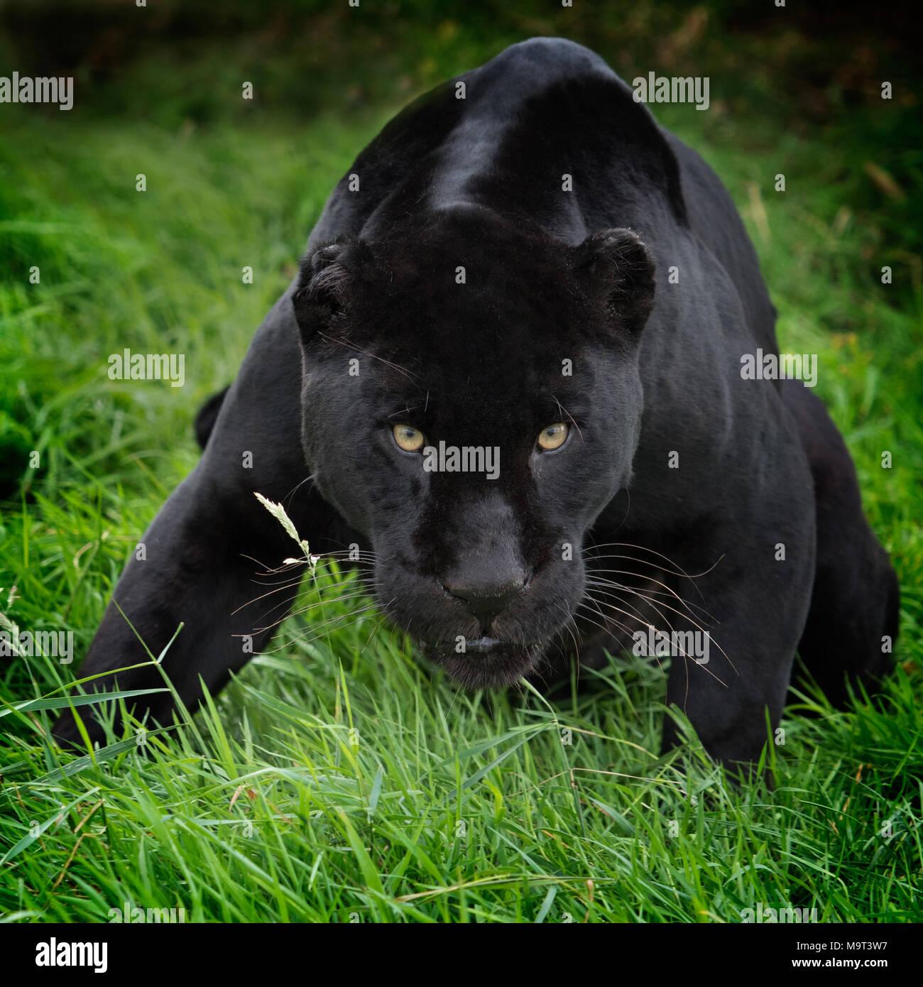 Crouching Jaguar: Black Panther Crouching (Panthera Pardus) Leopard Stock