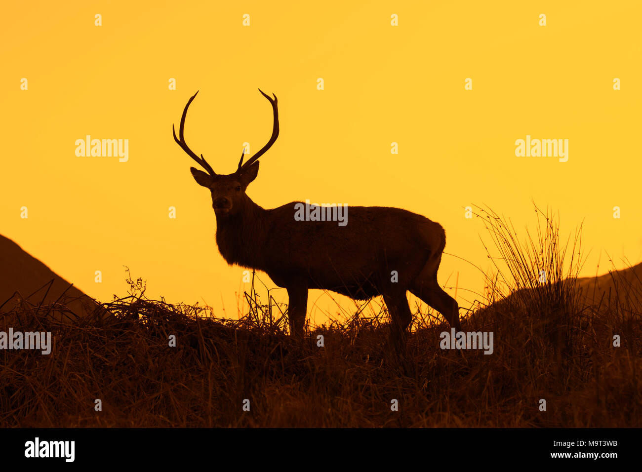 Red deer stag / male (Cervus elaphus) on moorland in the hills silhouetted against sunset in the Scottish Highlands, Scotland, UK - Stock Image