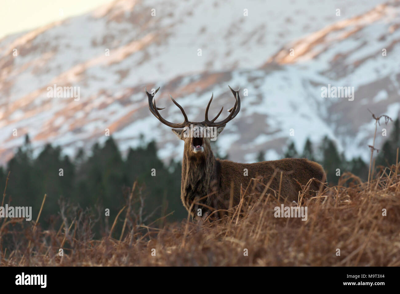 Red deer stag / male (Cervus elaphus) bellowing in the hills in winter in the Scottish Highlands, Scotland, UK - Stock Image