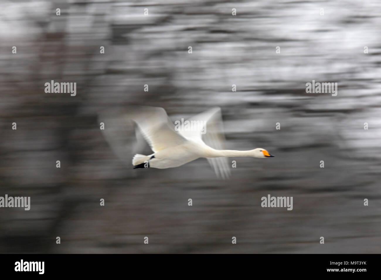 Motion blurred whooper swan (Cygnus cygnus) flying past trees in winter - Stock Image