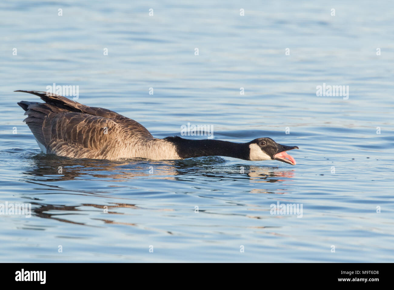 An agitated Canada goose on water. - Stock Image
