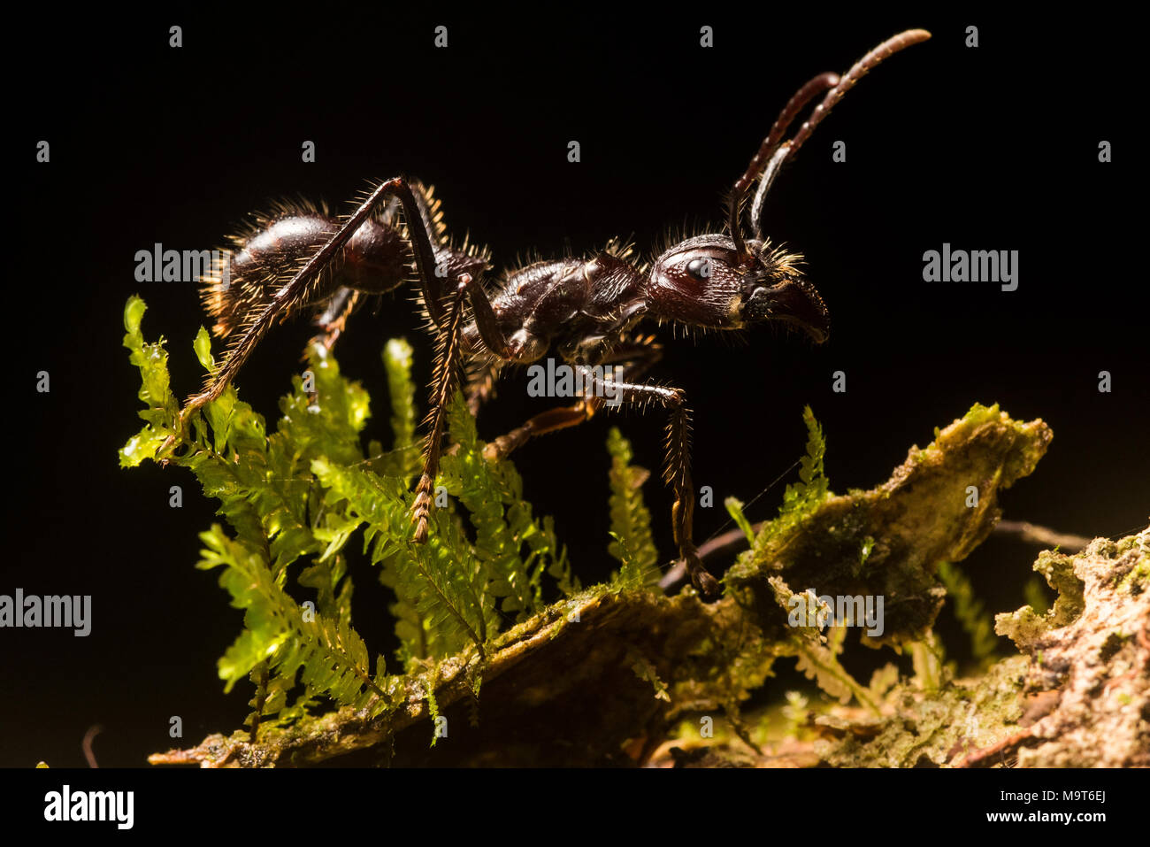 The infamous bullet ant (Paraponera clavata), known for having the most painful sting among insects. Found throughout Central and South America. Stock Photo
