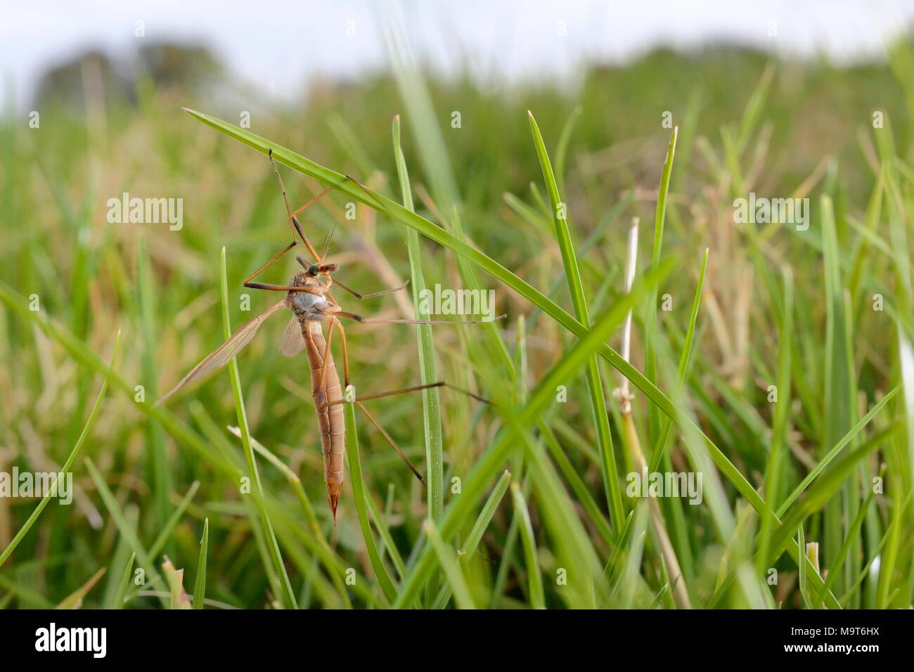 Female Common European Crane fly / Daddy long legs (Tipula paludosa) recently emerged and resting on grass blades in riverside water meadow, Wiltshire - Stock Image