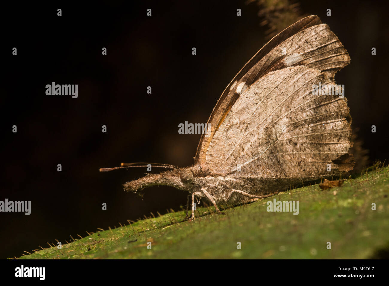 A snout butterfly from Peru, this is potentially the American snout (Libytheana carinenta). These head shape/snout of the butterflies is very unusual. - Stock Image