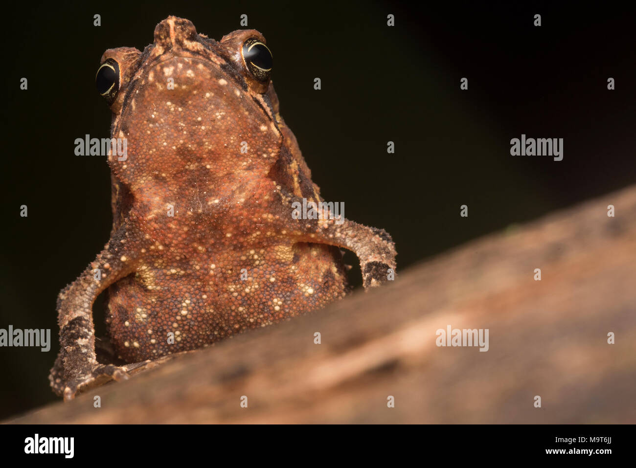 A portrait of the toad taken from ground level as the toad sat tall. - Stock Image