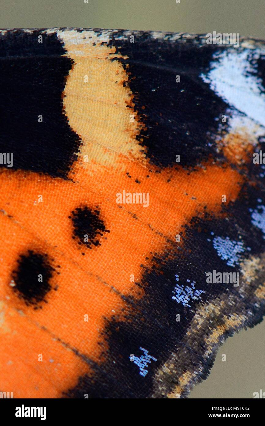Small tortoiseshell butterfly (Aglais urticae) wing detail showing iridescent scales, Wiltshire, UK, August. - Stock Image