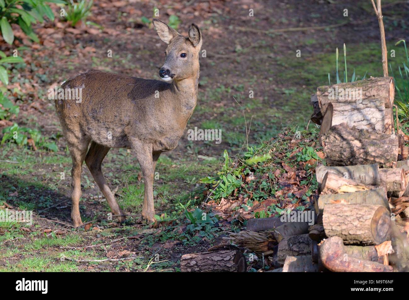 Roe deer (Capreolus capreolus) doe visiting a garden in morning sunlight to graze, with its ears pricked after hearing human sounds, Wiltshire, UK. - Stock Image