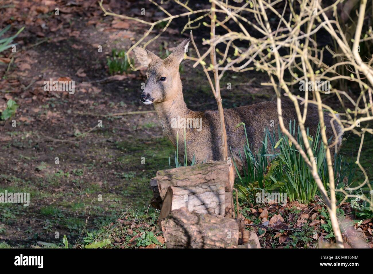 Roe deer (Capreolus capreolus) doe visiting a garden in morning sunlight, beside woodpile and daffodil clumps, Wiltshire, UK, March. - Stock Image