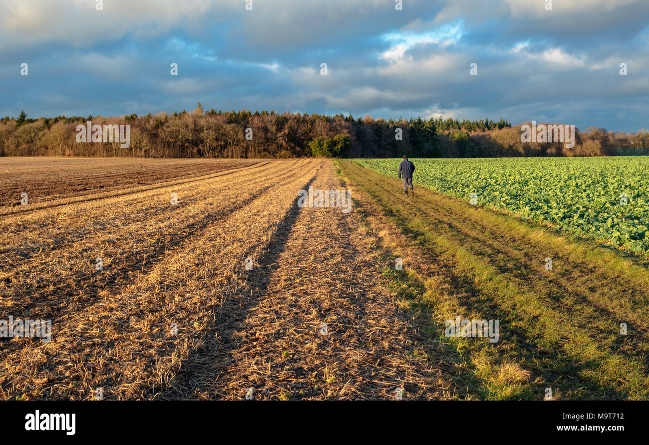 A walker striding across farm fields in the Chiltern Hills, Oxfordshire, England UK - Stock Image