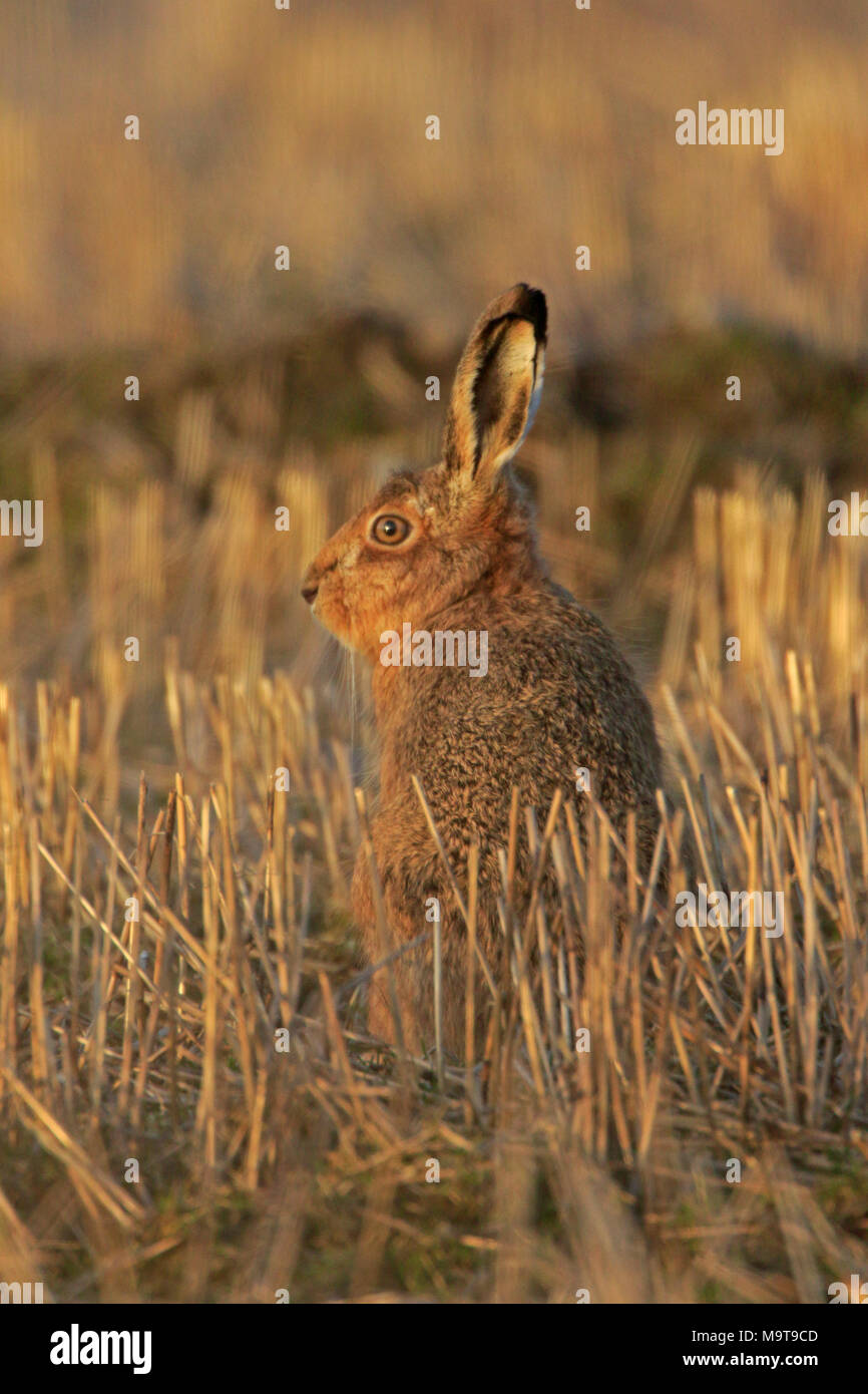 Brown Hare in a stubble field on Islay Inner Hebrides Scotland - Stock Image