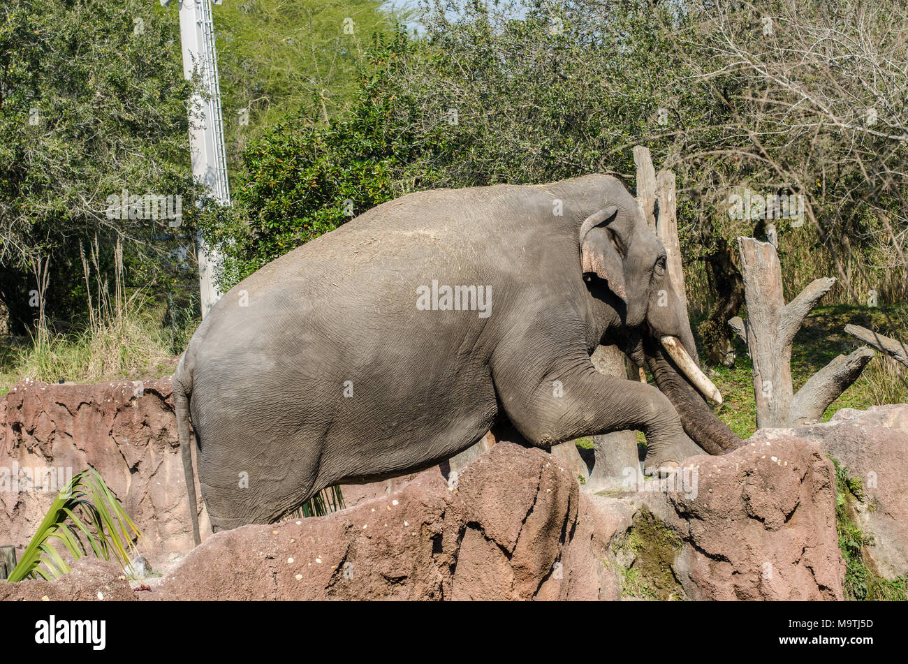 Elephants eating and enjoying the sunshine at Busch Gardens in Florida - Stock Image