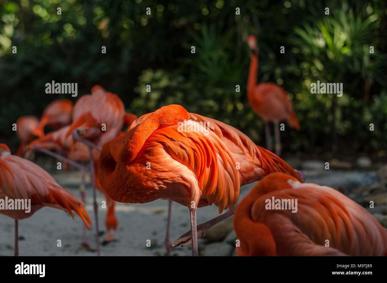 Pink flamingo taking a nap resting his head back on to his body whilst in the sun - Stock Image