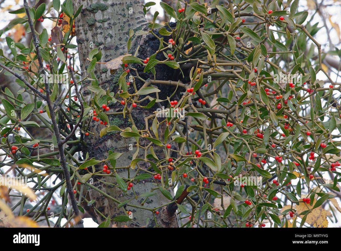 Korean Mistletoe Viscum Album Coloratum Another Scientific Name