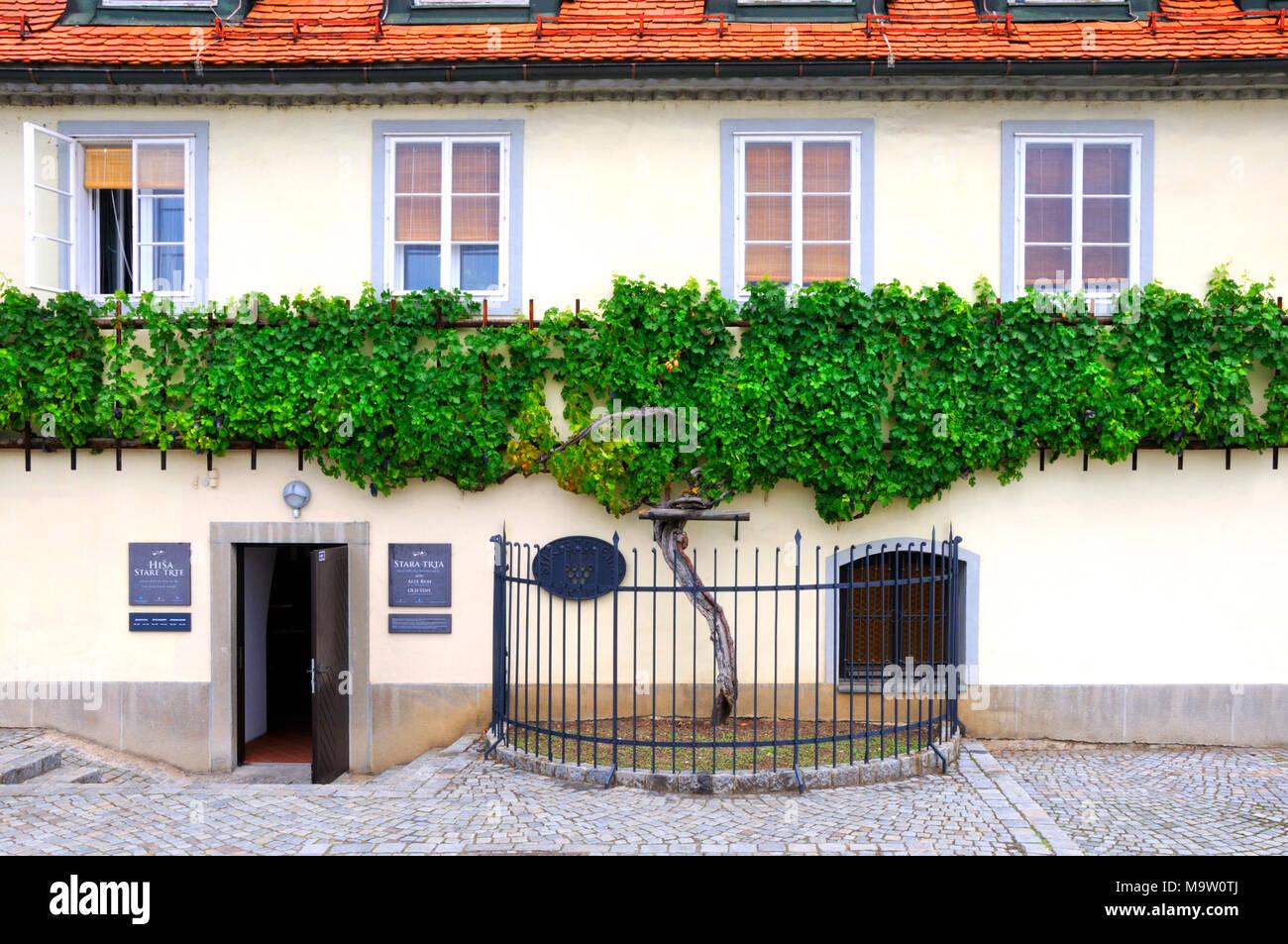 Maribor, Stajerska, Slovenia. Stara trta - Oldest grape vine in the world. Over 400 years old and in Guiness Book of Records. (Zametna crnina, variety Stock Photo
