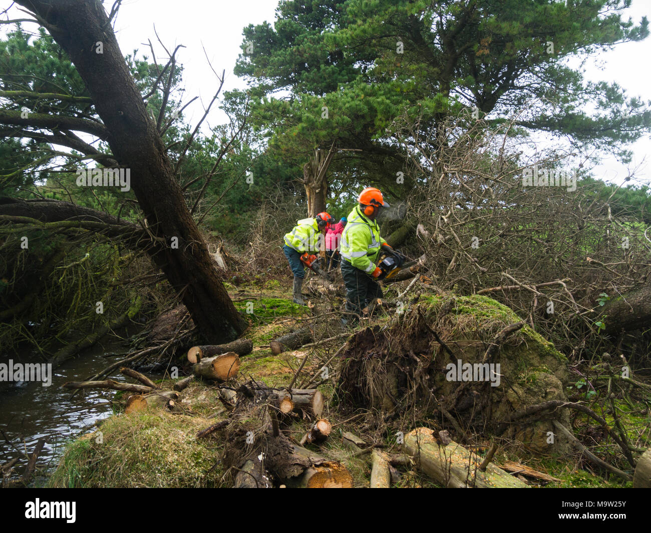 Volunteers wearing safety clothing using chainsaws to clear the line of a new public footpath cutting down conifers blocking path - Stock Image
