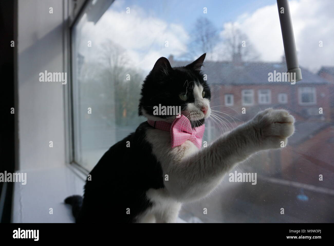 Black & White Cat Modelling Pink Bow Tie & Glasses - Stock Image