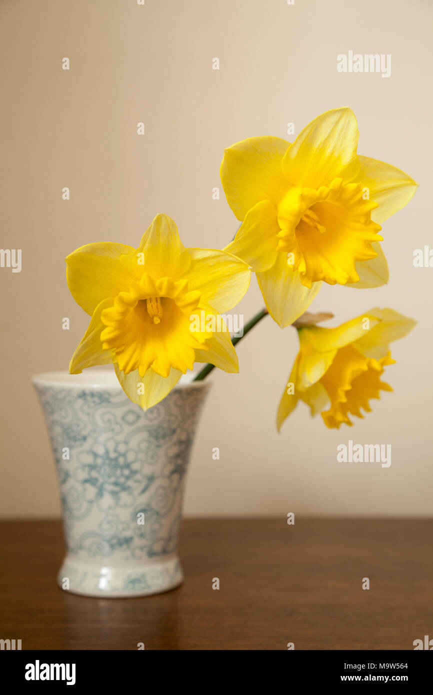 Three daffodil stems in small blue vase shot in natural light. - Stock Image