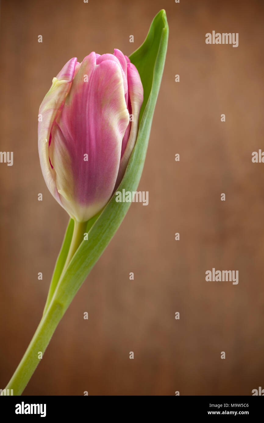 A single pink tulip against a mottled wood background, lit by soft window light. - Stock Image
