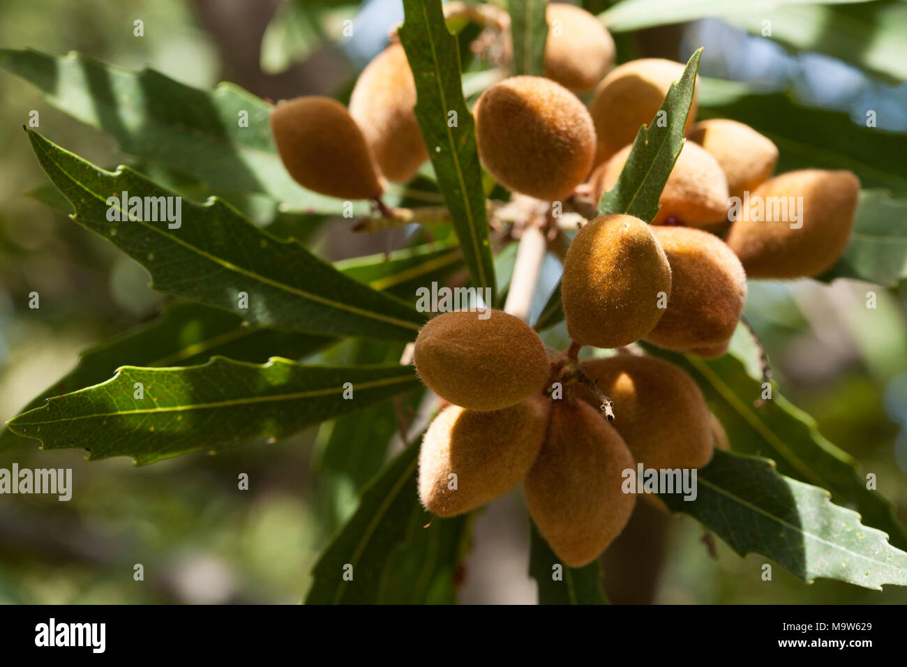 The velvety fruit and leaves of the Wild Almond, (Brabejum stellatifolium), an evergreen tree indigenous to the South African fynbos biome. - Stock Image