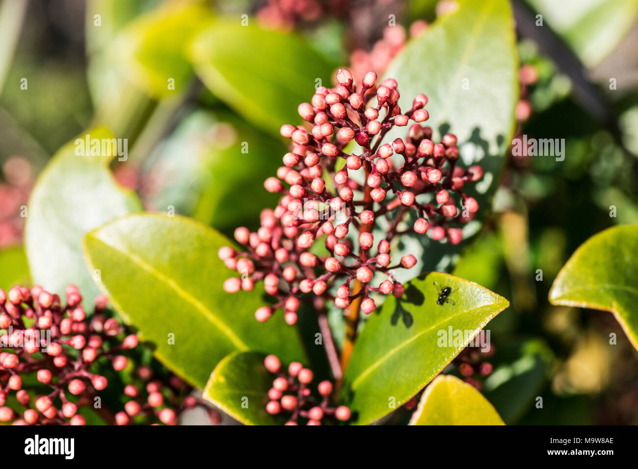 The red buds of a Skimmia japonica 'Rubella' - Stock Image
