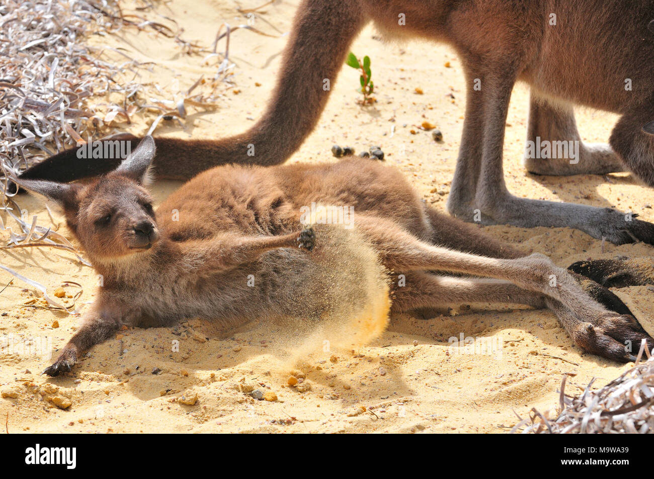 Mother and baby (joey) kangaroo in Lucky Bay campsite in the Cape Le Grand National Park, on the south coast of Western Australia Stock Photo
